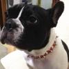 #frenchie #frenchbulldog #spikecollor #america #フレンチブルドッグ #スパイク #首輪 #フレブル