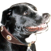 #dog #star #collor #brown #犬 #スター #星 #レザー #首輪