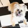 #cairn terrier #choke lead #dogwalk #ケアンテリア #チョークリード #散歩