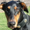 #dog #dorberman #collor #star #black #犬 #ドーベルマン #首輪 #スター #星 #レザー
