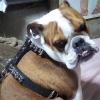 #bulldog #ブルドック #レザーハーネス #胴輪 #アメリカ