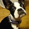 #boston terrier #spike collar #ボストンテリア #ボステリ #スパイク首輪