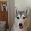 #siberianhusky #husky #signboard #watchout #シベリアンハスキー #ハスキー #看板 #サインボード #犬注意