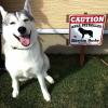 #husky #siberianhusky #caution #signboard #シベリアンハスキー #ハスキー #看板 #サインボード