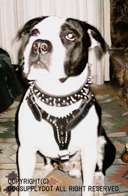 大型犬,仔犬,パピー,スパイク,スタッズ,ハーネス,ハード,パンク,アメリカンレザー,胴輪