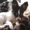 #dog #papillon #gum #犬 #パピヨン #牛革ガム #おやつ
