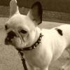 #dog #frenchbulldog #collor #spike #brown #犬 #フレブル #フレンチブルドック #スパイク #首輪