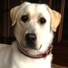 #dog #lab #labrador #leather #collor #brown #ラブ #イエローラブ #ラブラドールレトリバー #首輪 #レザー