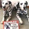 #dog #dalmatian #signboard #onduty #犬 #ダルメシアン #サインボード #看板 #セキュリティー