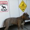 #dog #pitbull #signboard #caution #xing #犬 #ピットブル #サインボード #看板 #番犬 #大型犬
