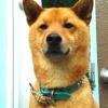 #dog #shibainu #leather #collor #spike #犬 #柴犬 #和犬 #レザー #スパイク #首輪