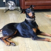 #dog #dorberman #black #leather #studs #犬 #ドーベルマン #首輪 #レザー #スタッズ