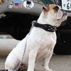 #dog #bulldog #collor #spike #chainlead #犬 #チェーンリード #ブルドック #スパイク #首輪