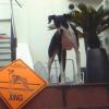 #dog #italiangreyhound #signboard #xing #イタリアングレーハウンド #イタグレ #サインボード #看板 #アメリカン
