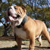 #bulldog #black #leather #collor #studds #ブルドック #首輪 #レザー #スタッズ #アメリカ