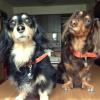 #dachshund #orange #leather #spike #studds #ダックス #首輪 #レザー #ダックスフンド #スパイク #スタッズ