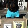 #rottwairer #signboard licker #crossing #ロットワイラー #サインボード #看板  #番犬