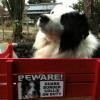 #bordercollie #signboard #beware #onduty #ボーダーコリー #サインボード #看板 #番犬