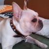 #frenchbulldog #collor #spike  #studds #フレブル #フレンチブルドック #スパイク #スタッズ #首輪