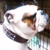 #bulldog #collor #spike #crystal #ブルドック #スパイク #クリスタル #首輪