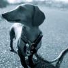 #dachshund  #chokelead #lope #ダックスフンド #チョークリード #ロープ