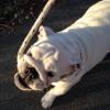 #dog #bulldog #white #chokelead #犬 #ブルドック #チョークリード #ロープ #白 #ホワイト