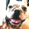 #frenchbulldog #frenchie #black #leather #harness #spike #studds #フレンチブルドック #フレブル #ハーネス #レザー #ブラック #スパイク #スタッ